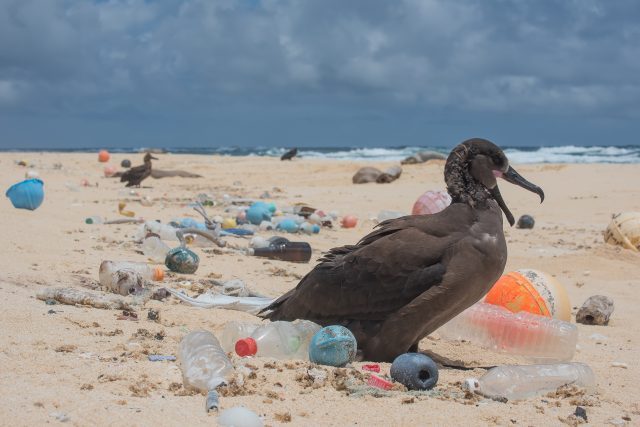 A bird surrounded by ocean plastic on the Northwestern Hawaiian Islands. Photo credits: Matthew Chauvin