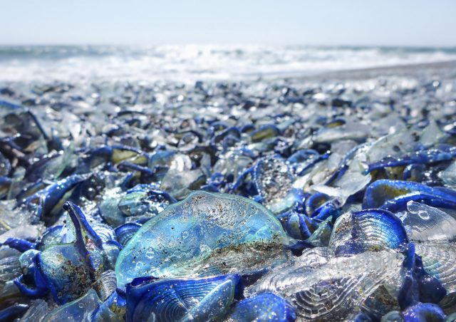 Velella Beached, Photography by Ingrid Taylar (via Flickr).